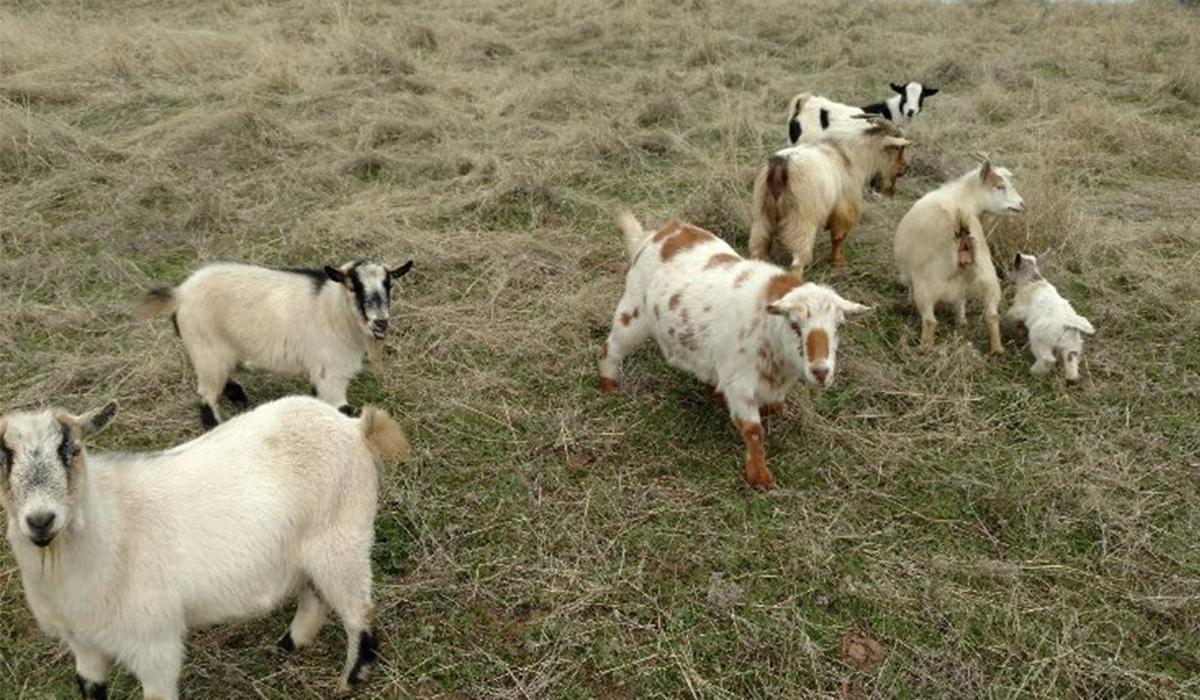 Cass McEntee's heard of goats!